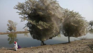 الأشجار المُغلّفة بالحرير