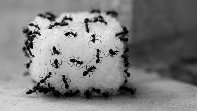 نمل السكر