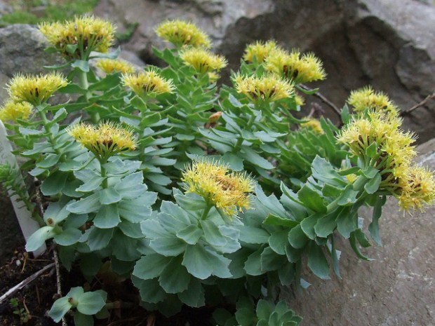 Image for RHODIOLA (GOLDEN ROOT)