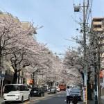 今週は万散歩ならず。鷺沼は桜満開!