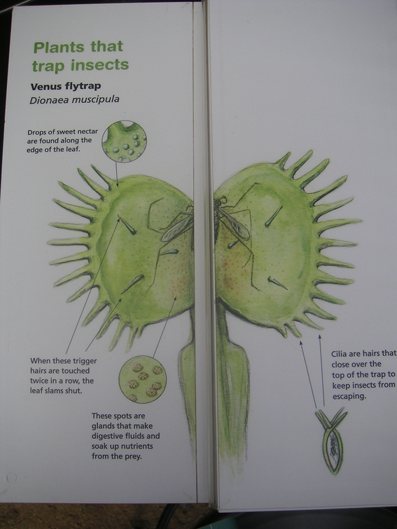 Venus Fly Trap Diagram Labeled Venus Flytrap Wikipedia The Free