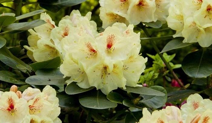 Efektywna uprawa Rhododendronów w ogrodzie.