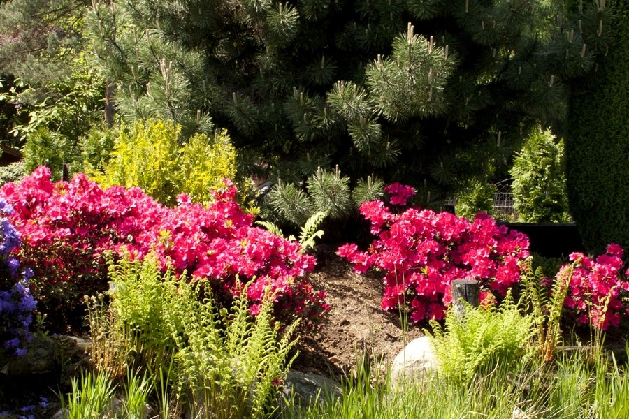 Uprawa roślin z rodziny Rhododendron