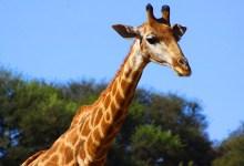Photo of Giraffe Smuggler Wanted By International Police