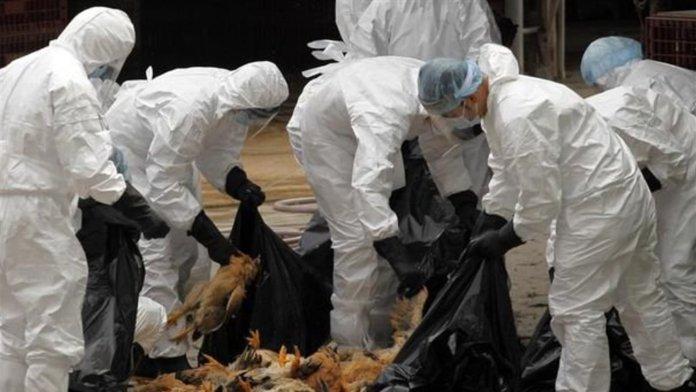 Découverte d'un foyer de grippe aviaire à Oum El Bouagui