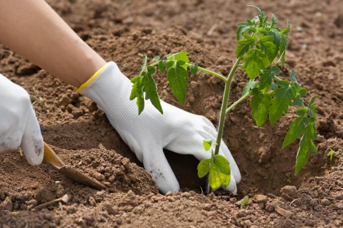 hands planting seedling of tomato in the vegetable garden | Autor: Dreamstime