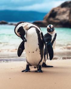 Penguines (7)