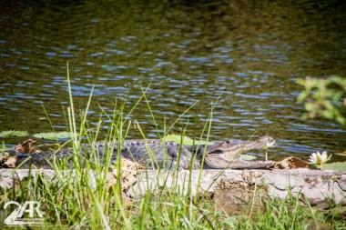 unser zweites Krokodil