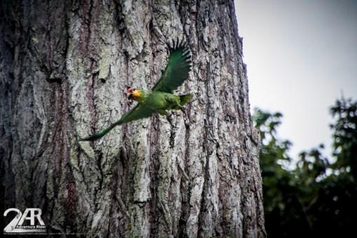 Papagei in freie Wildbahn