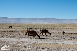 Lamas und Vicuñas sind all gegenwärtig