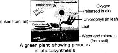 NCERT 7th Class (CBSE) Science: Nutrition in Plants Quiz