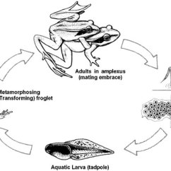 Bird Life Cycle Diagram Easy Tree Worksheet Addition Sea Urchin Anatomy On Of A Frog Reproduction Wiring Diagrams Hubs