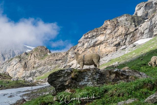 Schaf auf dem Weg zum Gletschersee