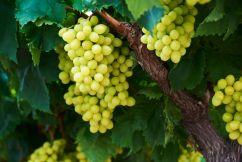 Bumper grape harvest on the cards