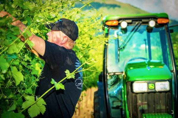 Owner Ross Allen Picking Grapes in 2Hawk Vineyard