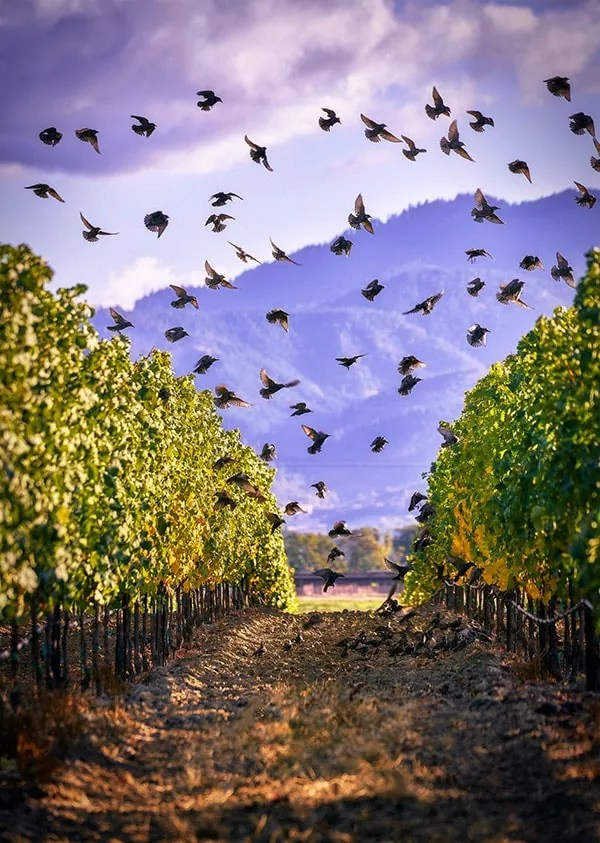 2Hawk Vineyard and Winery Starlings in the Vineyard