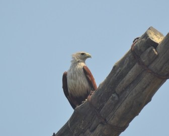Brahminy Kite at Fort Kochi