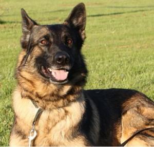 Modelfoto: Hunden på billedet er IKKE Andy