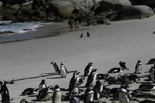 Penguins in Simon Town