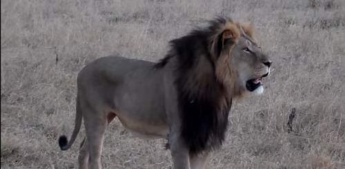 Cecil The Lion PIC: YouTube Screengrab