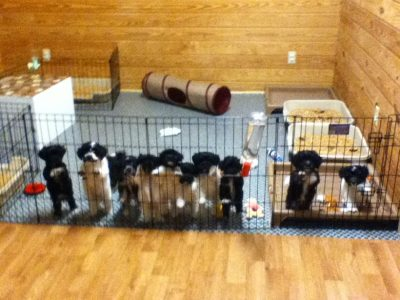 11 Havanese Puppies