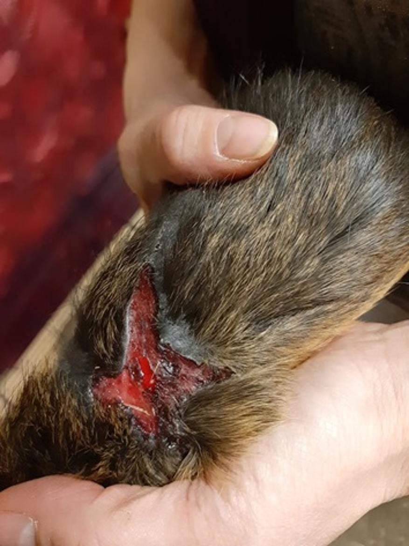 Les blessures des animaux (morsures et pattes abimées) sont terribles. © Kuufke