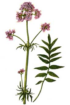Medicinal Herb: Valerian. Primarily for -- sleep disorder, anxiety, headaches, depression, IBS. 31Daily.com