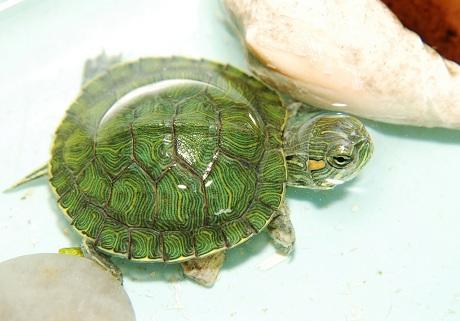 做夢夢見烏龜追我是什麼意思_關於解夢