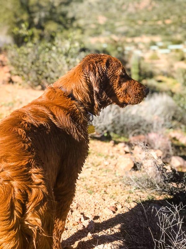 Logan the Golden Dog at Bartlett Reservoir, AZ.