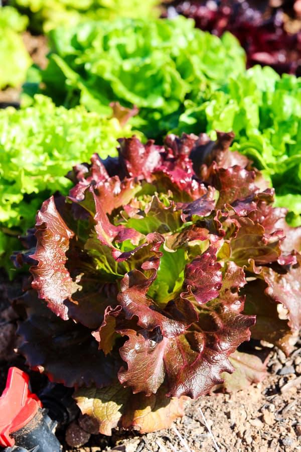 A head of lettuce growing at Steadfast Farm, Mesa, AZ.