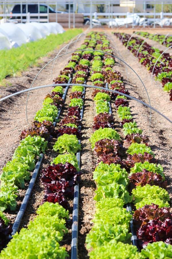 Lettuce growing at Steadfast Farm, Mesa, AZ.