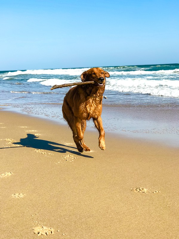 Logan the Golden Dog at the beach.