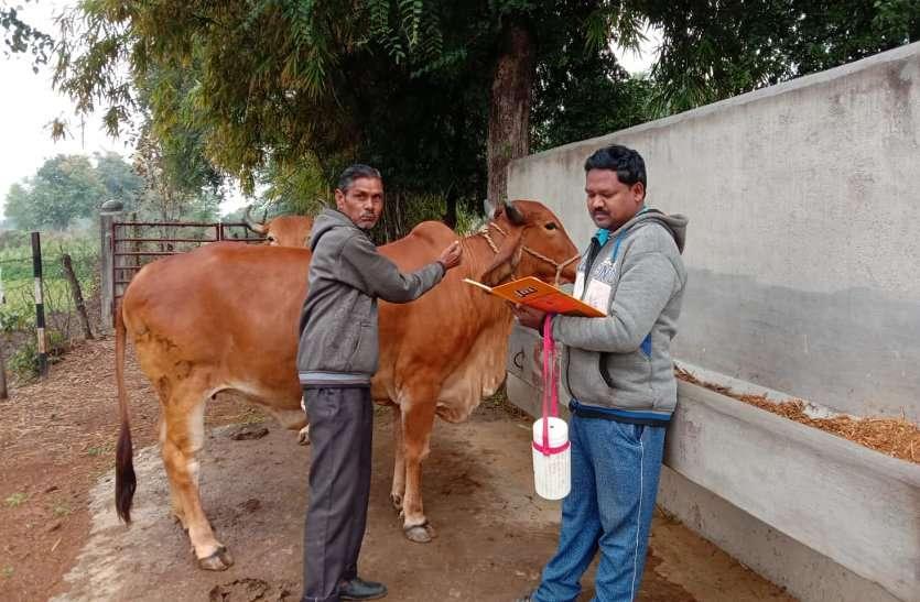 ग्राम झुलना गौठान में पशुओं का किया गया टीकाकरण