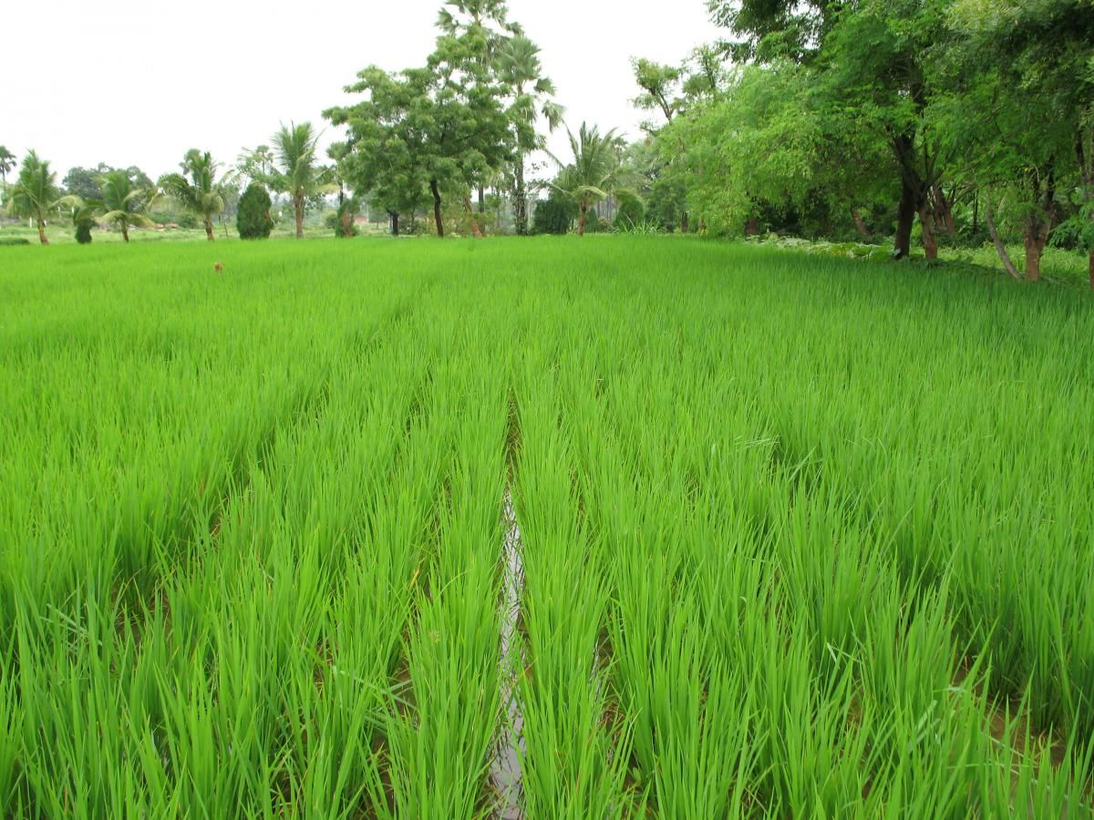 Rice Crop - fasal