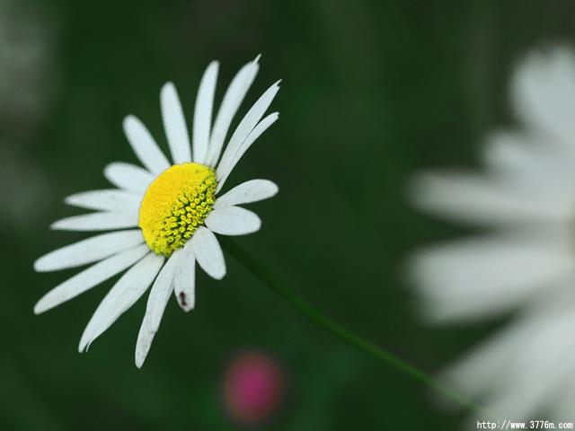 フランス菊/花の都公園