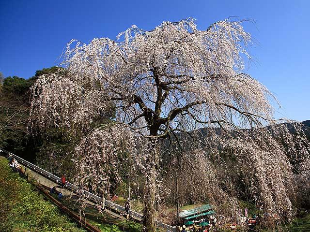 シダレ桜2/入生田 長興寺