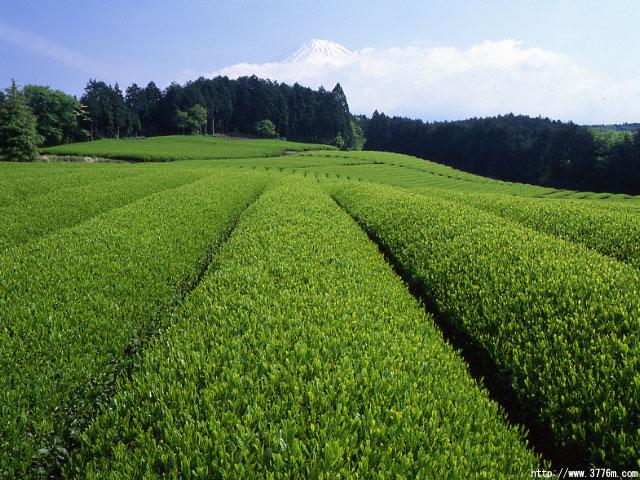 輝く茶畑と富士山/富士市大淵