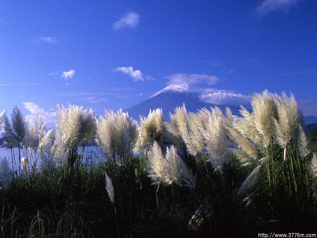 パンパスグラス・富士/河口湖