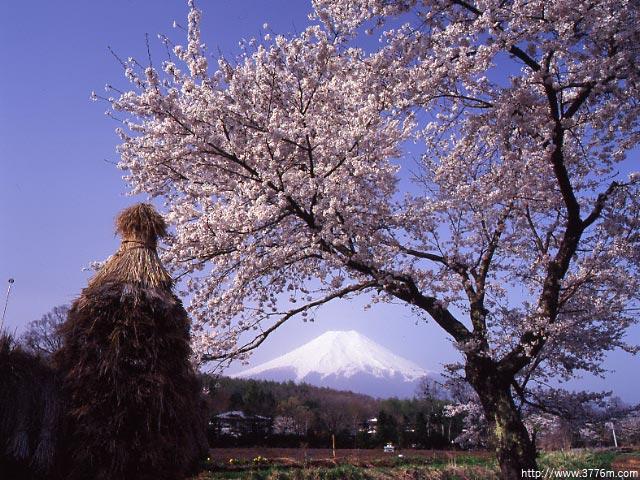 桂川沿いの春風景/忍野村
