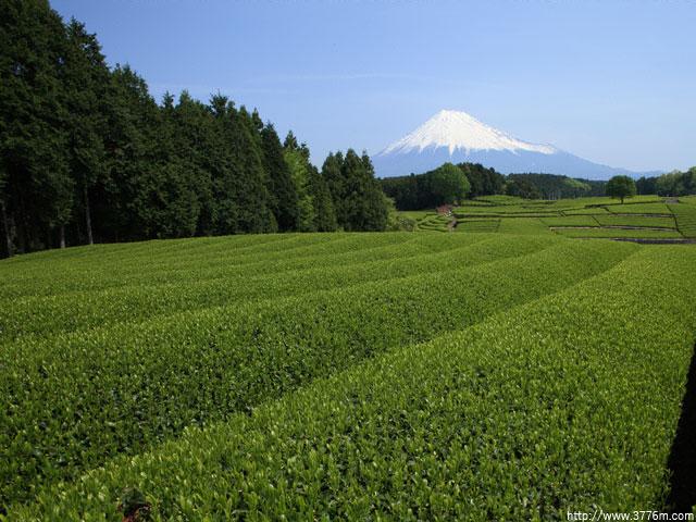 茶畑と富士/富士市