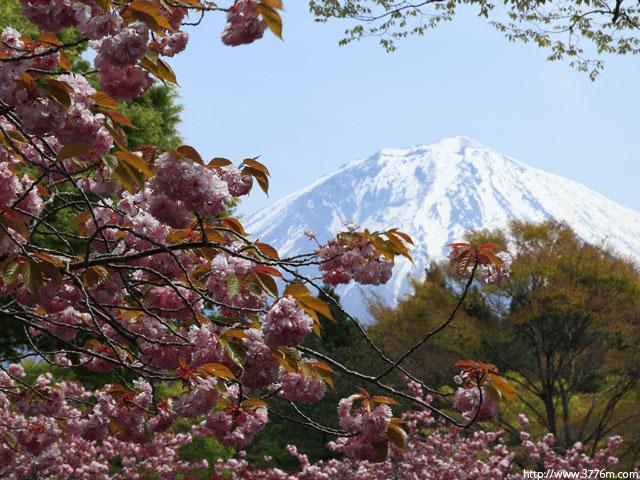 満開八重桜/朝霧霊園