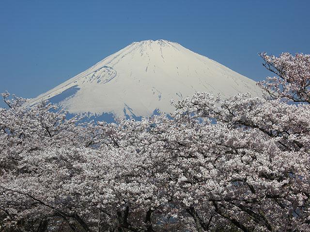 桜満開/平和公園