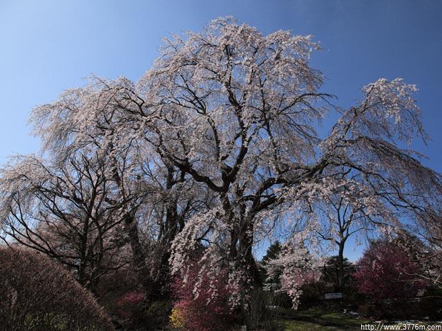 桜の銘木/富士ビューホテル