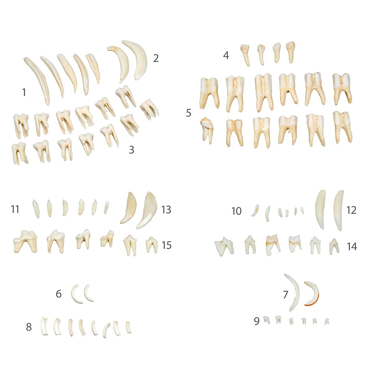 Types Of Animal Teeth