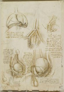 The anatomical study by Leonardo Da Vinci penis