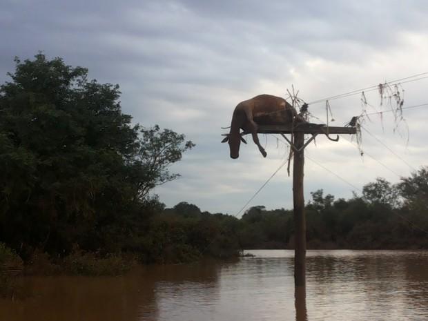 Vaca foi parar em cima de poste após cheia do Rio Uruguai, no RS (Foto: Flávio Robalo/Arquivo pessoal)