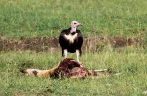 Vulture eating an impala