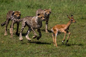 Cheetah cubs try to finish off their mum's quarry