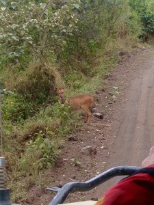 A shy bushbuck checked us out