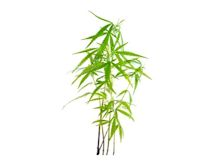 Scott Chan Marijuana Plant IB